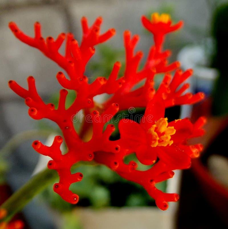 Eine exotische rote Blume von den Anden stockbild