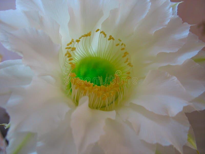 Eine extrem schöne weiße Kaktusblume stockbild