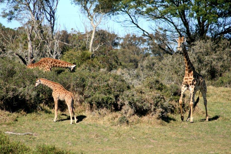 Eine Familie der Giraffe stockbild