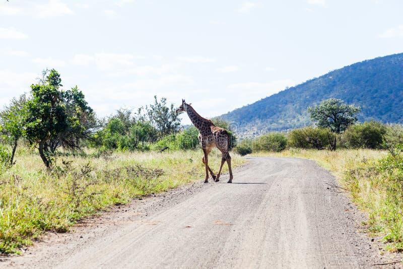 Eine Familie der Giraffe in Kruger-Park lizenzfreies stockfoto