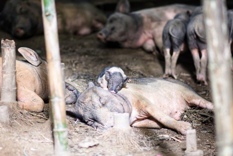 Eine Familie des Schweins stockbild