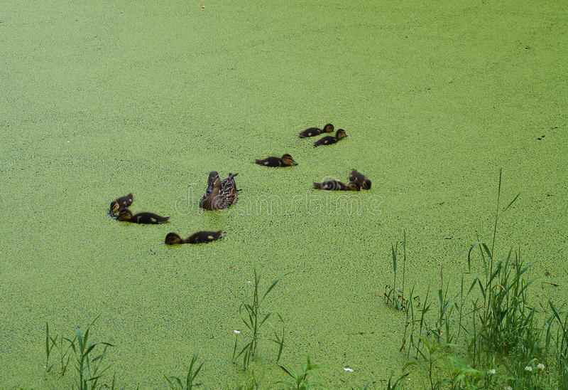 Eine Familie von Enten stockbild