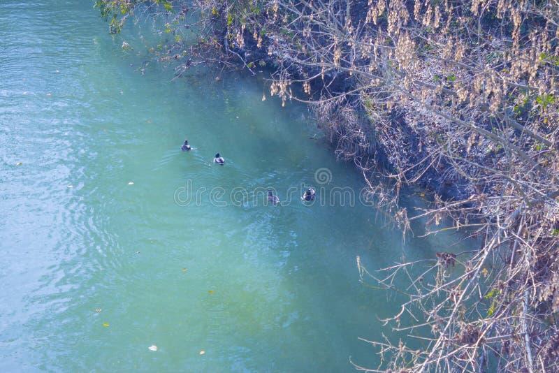 Eine Familie von Enten schwimmt in einem transparenten Türkisfluß nahe dem Flussufer stockbild
