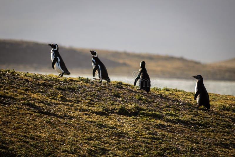 Eine Familie von Pinguinen lizenzfreies stockbild