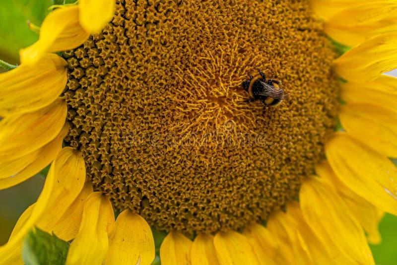 Eine fette Hummel sitzt mitten in einer gelben Sonnenblume stockfotos