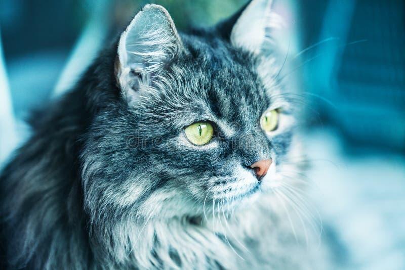 Eine flaumige Katze der sibirischen Zucht Nahaufnahme lizenzfreie stockfotografie