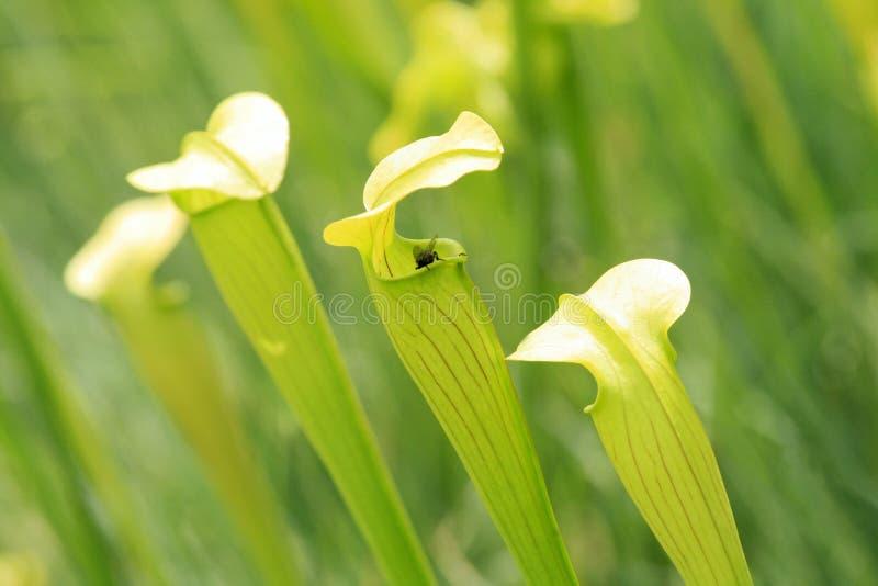 Eine Fliege und eine Kannenpflanze lizenzfreies stockfoto