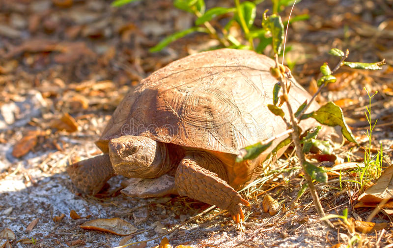 Eine Florida-Gopher-Schildkröte stockfotos