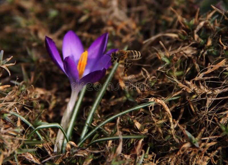 Eine Fotografie eines Bienenfliegens in Richtung zu einer Blume lizenzfreie stockfotografie