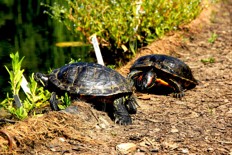 Eine Fotografie von Schildkröten lizenzfreies stockfoto