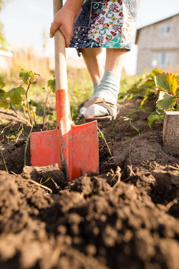 Eine Frau gräbt einen Garten mit einer Schaufel stockfotos