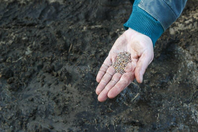 Eine Frau in ihrer Hand hält die Samen, bevor sie im Boden, Nahaufnahmepflanzen pflanzt stockbilder