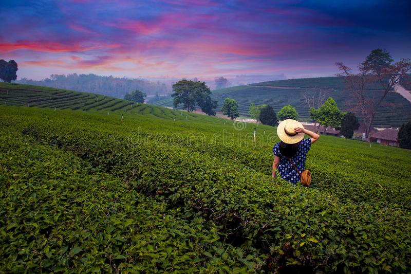 Eine Frau reist am Teeplantagenfeld in Chiangrai stockfotos