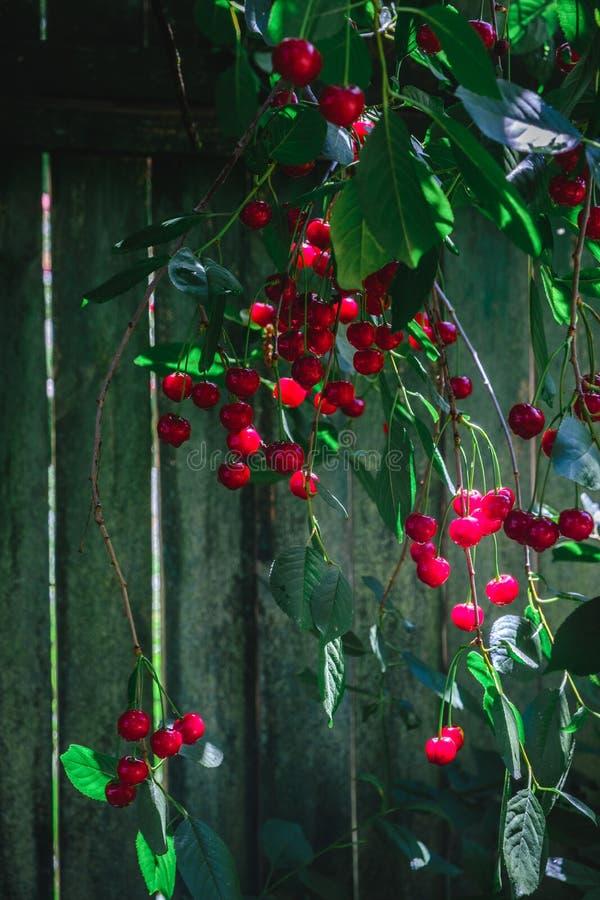 Eine freigebige Menge reife Kirschen auf einer Kirschbaumniederlassung belichtet durch den Sonnenschein lizenzfreies stockbild