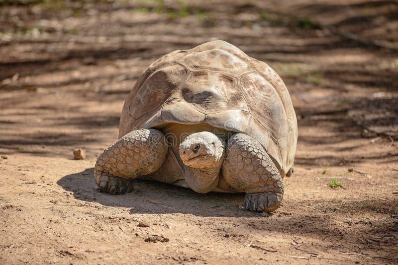Eine Galapagos-Schildkr?te, die sich langsam bewegt lizenzfreie stockbilder