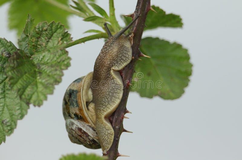 Eine Garten-Schnecke, Schnecken-aspersa, den Stamm eines dornigen Brombeerstrauchbusches oben kletternd stockfotos