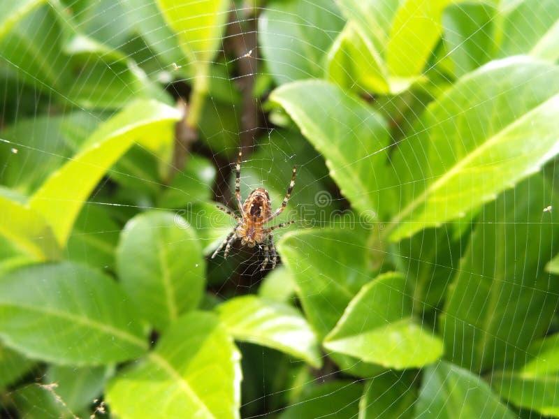 Eine Gartenkreuzspinne lizenzfreie stockfotos