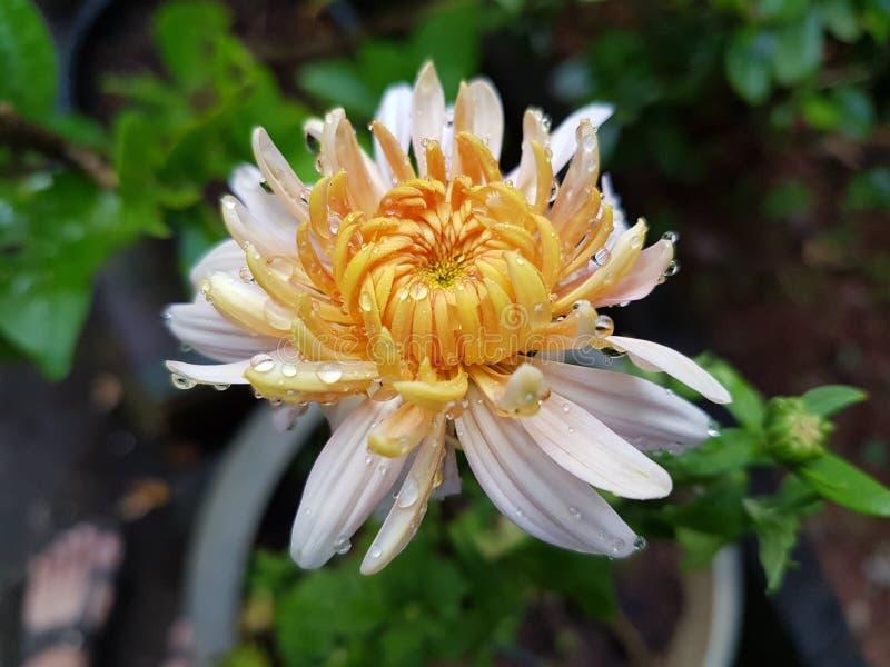 Eine geblühte Dahlienblume lizenzfreies stockbild