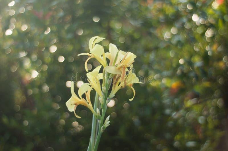 Eine gelbe canna Lilienblume lizenzfreie stockfotos