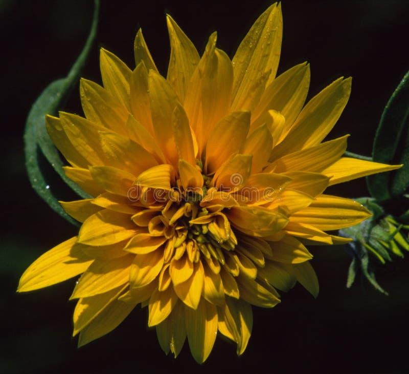 Eine gelbe Garten-Dahlie glänzt mit Tau Ende des Sommersonnenaufgangs lizenzfreie stockbilder