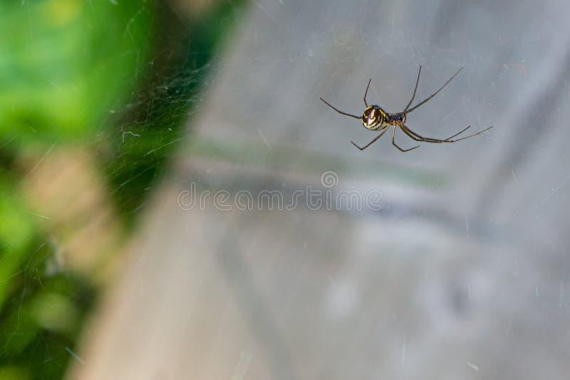 Eine gelbe Gartenkreuzspinne haftet seinem Netz an lizenzfreies stockfoto