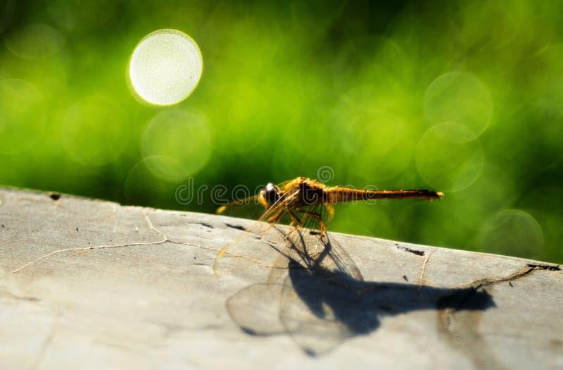 Eine gelbe Libelle unter hellem Blase bokeh stockfotografie