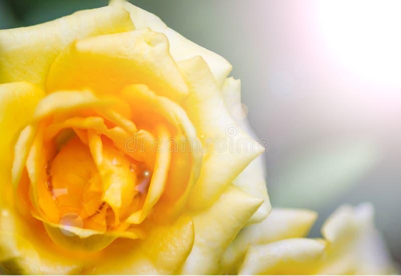 Eine gelbe Rose im Garten mit Fahrpreisbeleuchtung stockfoto