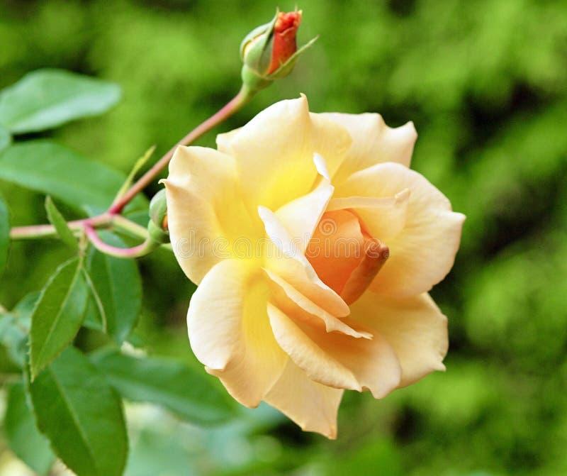 Eine gelbe Rose und kleine Knospen im Garten stockfotografie