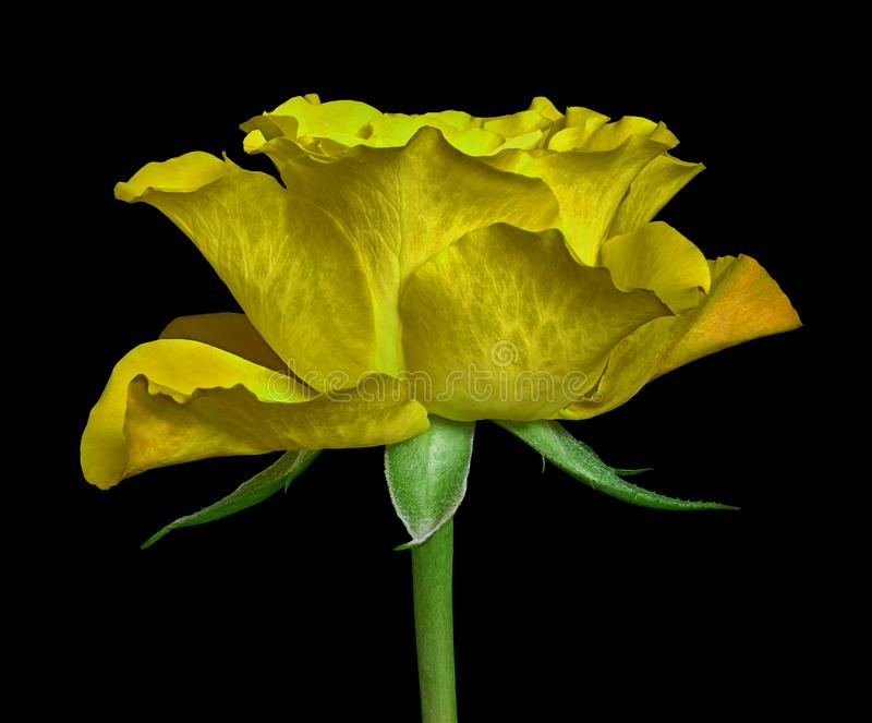 Eine gelbe Rosenblume lokalisiert auf einem schwarzen Hintergrund Nahaufnahme Blumenknospe auf einem grünen Stamm mit Blättern stockfotos