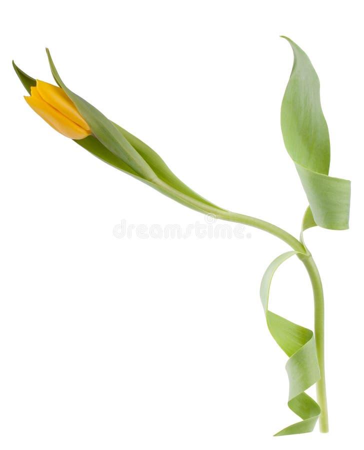 Eine gelbe Tulpe lizenzfreie stockfotografie