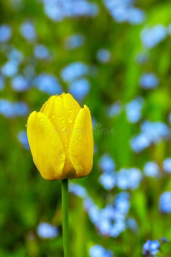 Eine gelbe Tulpe stockfotos