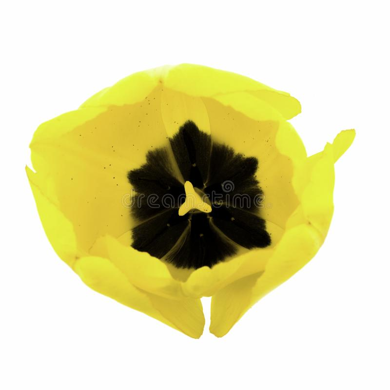 Eine gelbe Tulpe lokalisiert auf wei?em Hintergrund lizenzfreie stockbilder