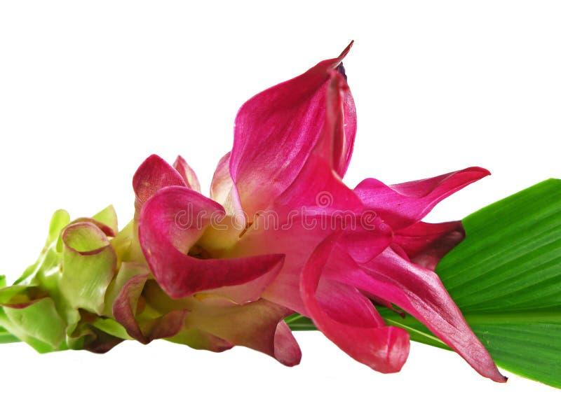 Eine ?Gelbwurz? Blume stockfoto