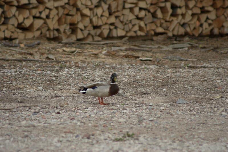 Eine gemeine Ente der männlichen Ente, Anekdoten platyrhynchos, die Schutz stehen, während sein nicht gezeigter Kamerad nach Nahr lizenzfreies stockfoto