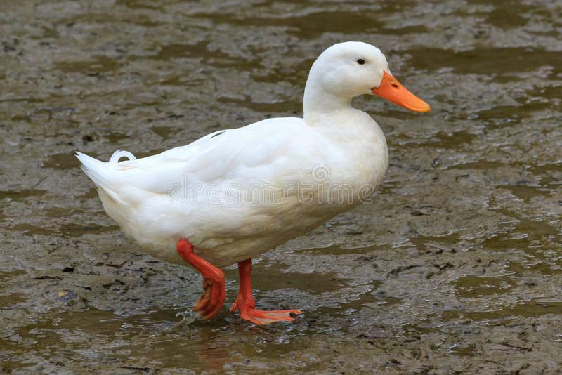 Eine gesamt-weiße Ente auf einem mudflat lizenzfreies stockbild