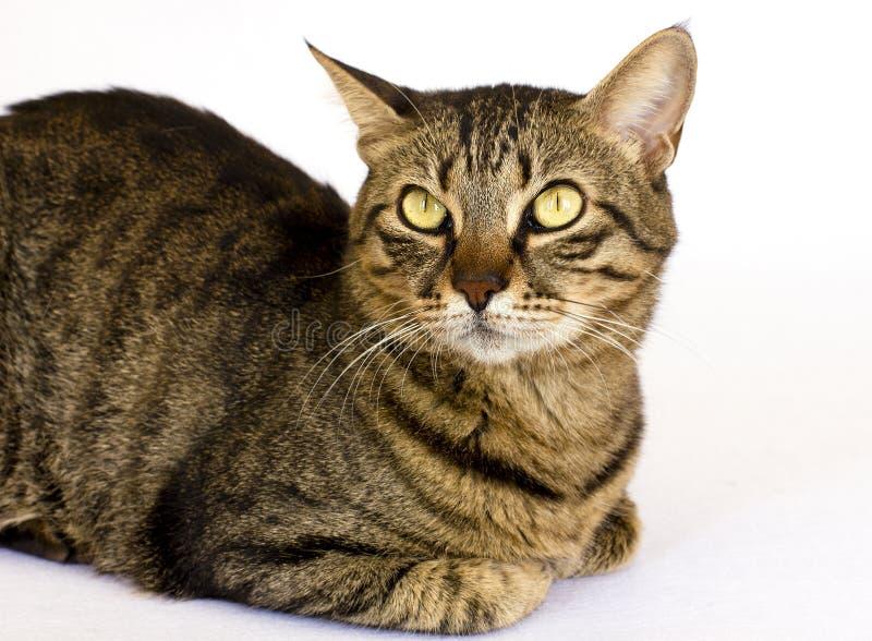 Eine gestreifte Katze auf einem weißen Hintergrund schaut beiseite stockfoto