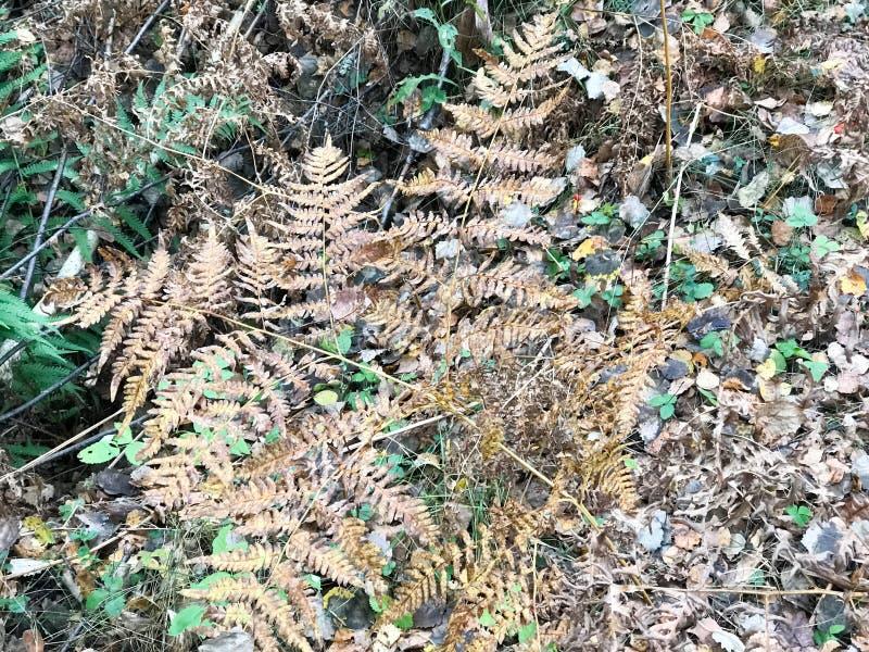 Eine getrocknete Niederlassung eines ferny Farns im hellen Herbstgelb und frische grüne Blätter und Gras im Wald der Hintergrund lizenzfreie stockbilder