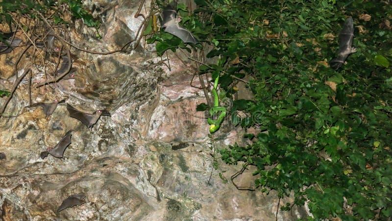 Eine giftige Schlange, die in einer tropischen Vegetation in einer Höhle versteckt wird, lauert für sein Opfer Schläger fliegen i stockbild