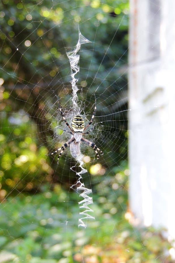 Eine giftige Spinne auf einem Spinnennetz stockfotografie