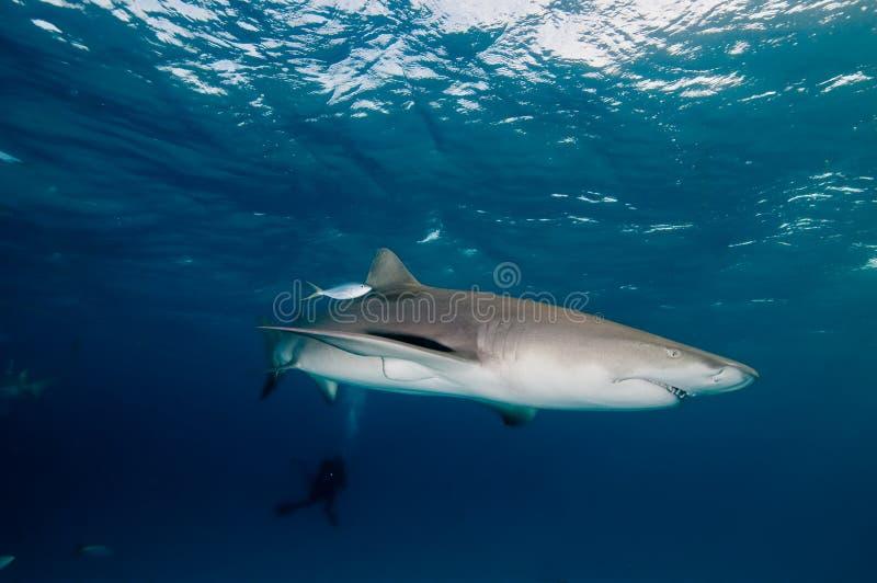 Eine glatte Zitronenhaischwimmen in einem klaren, tiefen blauen Ozean stockfoto