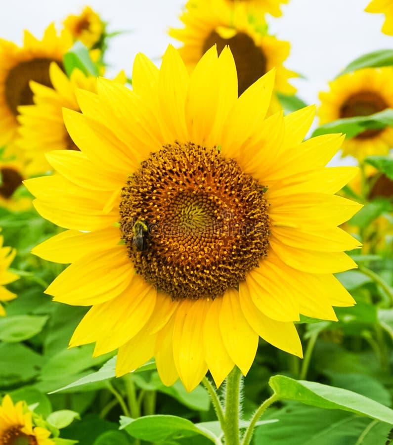 Eine goldene gelbe Sonnenblume, die mit Honey Bee blüht lizenzfreie stockbilder