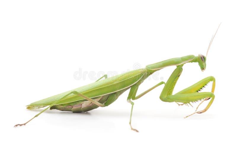 Eine grüne Gottesanbeterin lizenzfreie stockbilder
