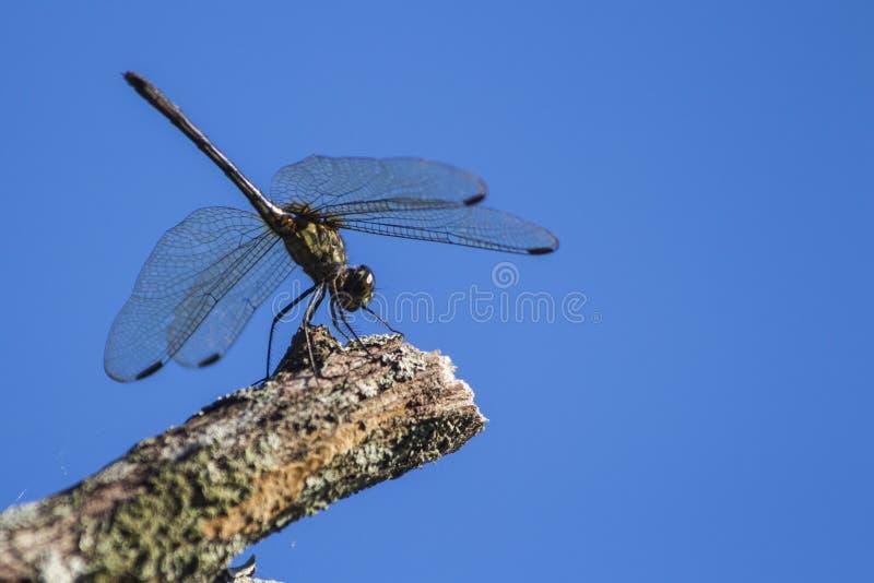 Eine grüne Libelle, die auf einem Stamm stillsteht stockbild