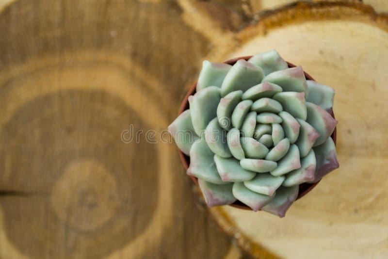 Eine grüne Wüstenrose, eine saftige Blume, gegen einen Hintergrund von hölzernen Schnitten, ein strukturierter unscharfer Hinterg stockbild