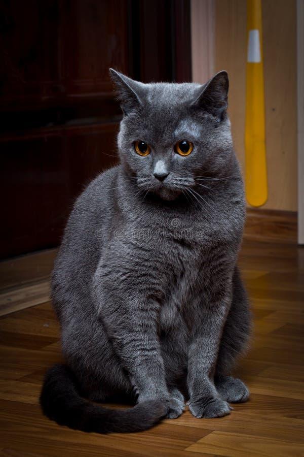 Eine graue Britisch-Kurzhathair-Katze sitzt in Überraschung stockfotografie