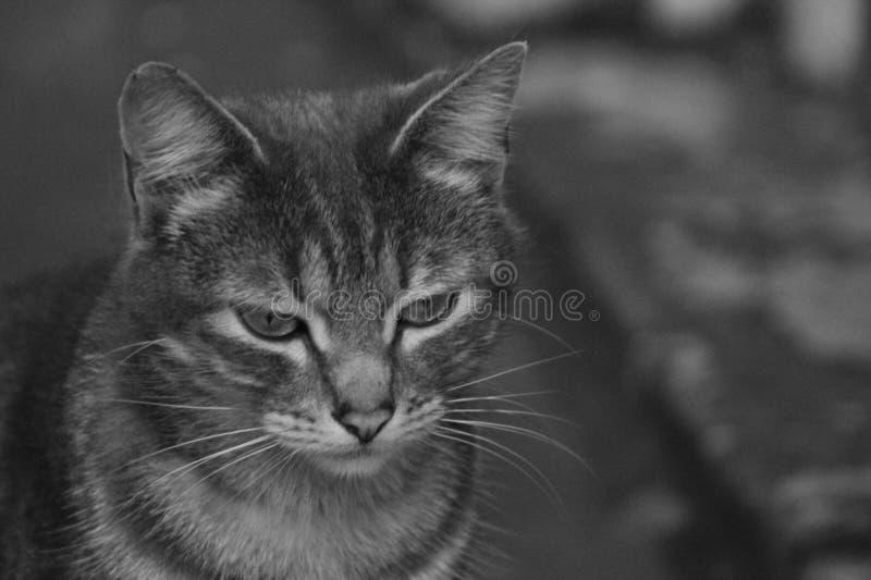 Eine graue Katze mit zwei Tönen genannt stockbild