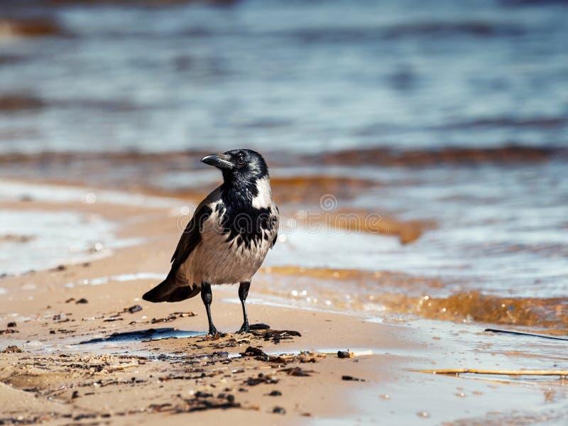 Eine graue Krähe auf einem sandigen Strand gegen das Meer lizenzfreies stockbild