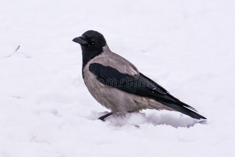 Eine graue Krähe in der Straße im Winter lizenzfreies stockbild