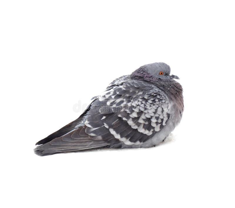 Eine graue Taube stockfotos