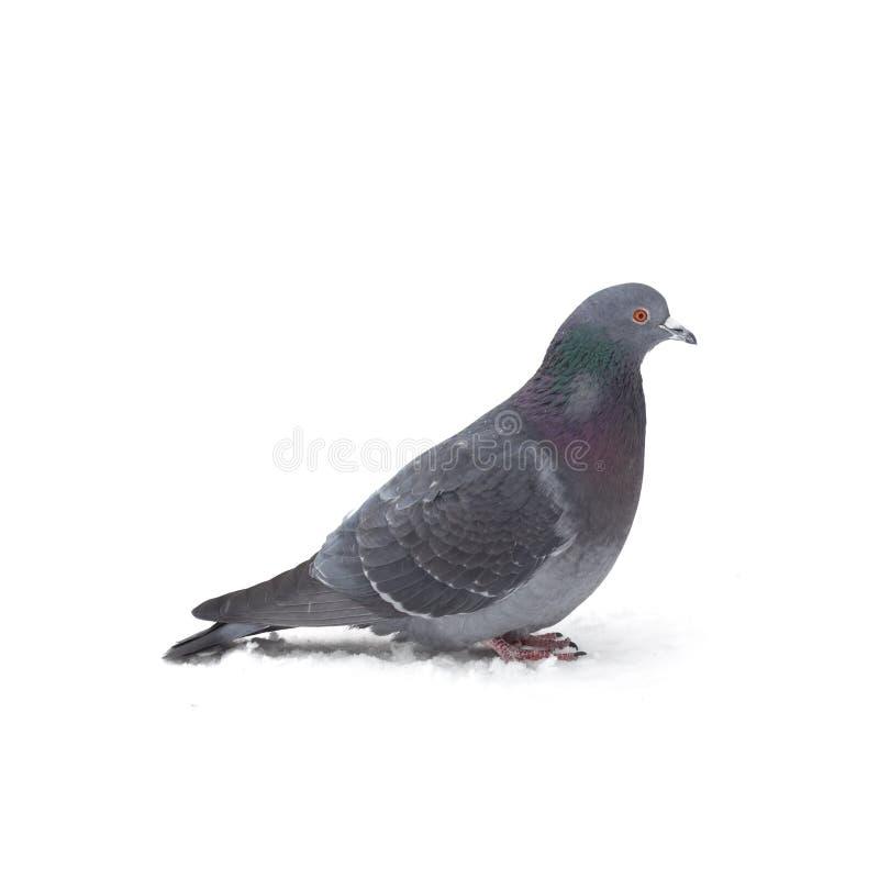 Eine graue Taube lizenzfreie stockfotos